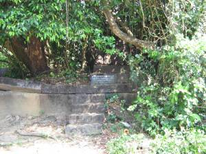 Aswatha tree planted upside down by Sri Madhva!